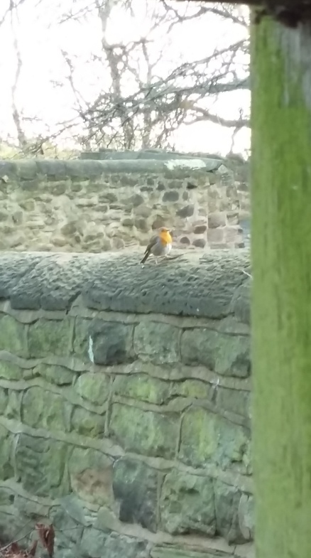 New Year robin at Whiston church 2017
