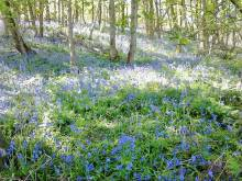 Beautiful woodland bluebells May 2017 - thanks Sue
