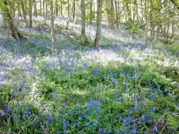Beautiful woodland bluebells May 2017 - thanks Sue