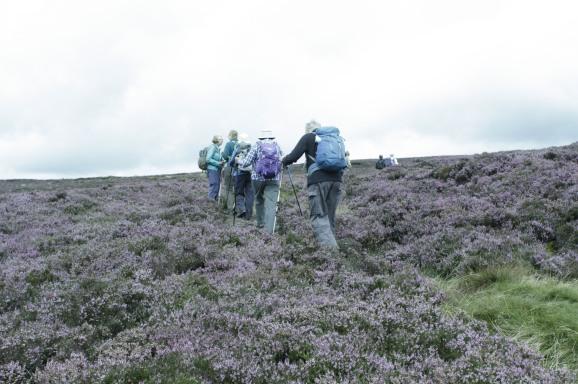 Moorland heather on Dorothy's Kinder walk Aug 17